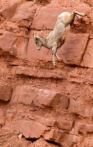 © Paul Conrad/Pablo Conrad Photography A Bighorn sheep, Ovis canadensis, jumps from its perch above Frying Pan Road several mile outside Basalt, Colo.