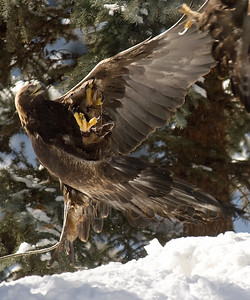 © Paul Conrad/Pablo Conrad Photography  A golden eagle, Aquila chrysaetos,  at the Aspen Center for Environmental Studies in Aspen, Colo.