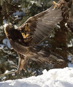 © Paul Conrad/Pablo Conrad Photography  A golden eagle, Aquila chrysaetos,  at the Aspen Center for Environmental Studies in Aspen, Colo.