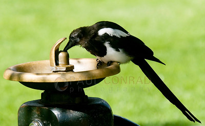 © Paul Conrad/ Photography  A magpie, pica pica, quenches its thirst as it sips from a leaky water fountain at Paepcke Park in Aspen, Colo.