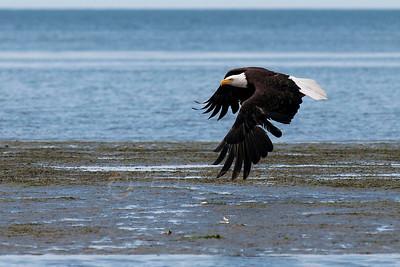 © Paul Conrad/Pablo Conrad Photography  A bald eagle (Haliaeetus leucocephalus) takes flight at Birch Bay north of Belligham, Wash.