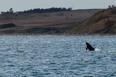 Orca Breaching at Cattle Point