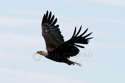 © Paul Conrad/Pablo Conrad Photography  A bald eagle (Haliaeetus leucocephalus) take flight over Birch Bay north of Bellingham, Wash.