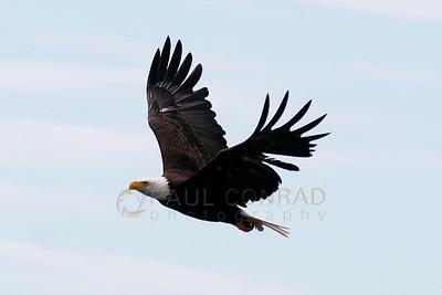 © Paul Conrad/Pablo Conrad Photography  A bald eagle (Haliaeetus leucocephalus) take flight over Birch Bay north of Bellingham, Wash.