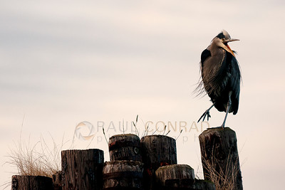 © Paul Conrad/Pablo Conrad Photography - A Great Blue Heron (Ardea herodias) squawks at the Community Boating Center in Bellingham, Wash.
