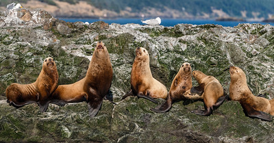 Sea Lions on Whale Rock