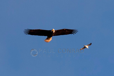 © Paul Conrad/Pablo Conrad Photography  A bald eagle (Haliaeetus leucocephalus) flies over Locust Beach in Bellingham, Wash., on the shores of Bellingham Bay.