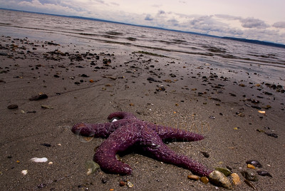 © Paul Conrad/Pablo Conrad Photography - A purple ochre sea star (Pisaster ochraceus) on a Puget Sound beach between Carkeek Park and Richmond Beach for the cool waters of the encroaching tide north of Seattle, Wash.