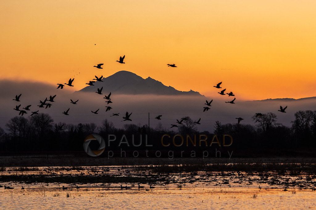 Ducks Framing Mount Baker - A flock of ducks in a field off Johnston Road frame a silhouetted Mount Baker during sunrise on Wednesday morning Feb. 19, 2020, in Whatcom County north of Bellingham, Wash. (photo © Paul Conrad/Paul Conrad Photography)