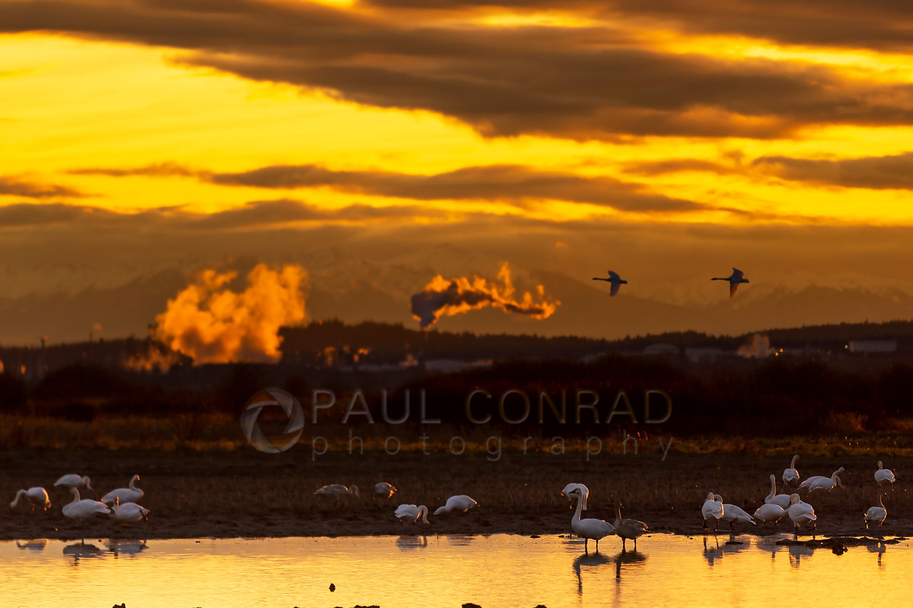 Skagit Snow Geese at Sunset - The setting Sun backlights the steam eminating from the Anacortes Tesoro refinery as a flock of snow geese play in a pond along Bayview-Edison Road during sunset on Sunday evening Nov. 29, 2020, in Skagit County, Wash.(photo © Paul Conrad/Paul Conrad Photography)