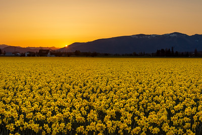 Sunrise Over Daffodils - 894