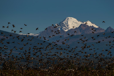 Flocking Birds Mount Baker   - 0304