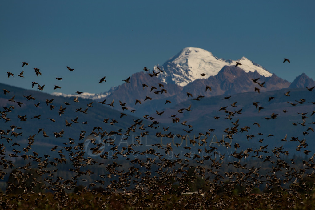 Birds and Baker: A flock of birds raid the vineyards along Bayview-Edison Road and steal the grapes against the snowcapped peak of Mount Baker and the Sisters on Monday afternoon Sept. 28, 2020, in western Skagit County, Wash. (photo © Paul Conrad/Paul Conrad Photography)
