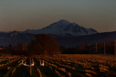Snow Geese and Mount Baker at Sunset- 0163