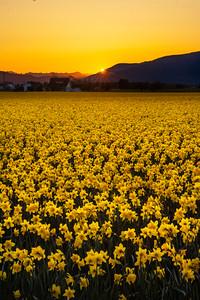 Sunrise Over Daffodils - 0900