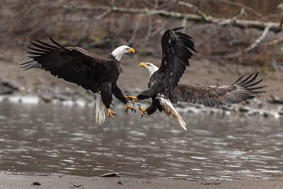 Eagles on the Nooksack -  1481