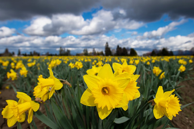 Stormy Skies Over Daffodils in Skagit County