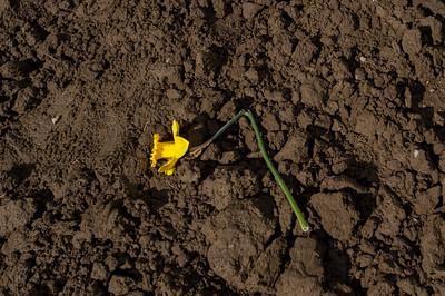 Daffodils in Skagit County - 0072