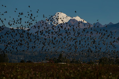 Flocking Birds Mount Baker   - 0206