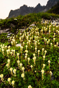 Wildflowers Along Chain Lakes Trail