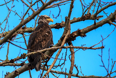Bald Eagles and Crosses - 0069
