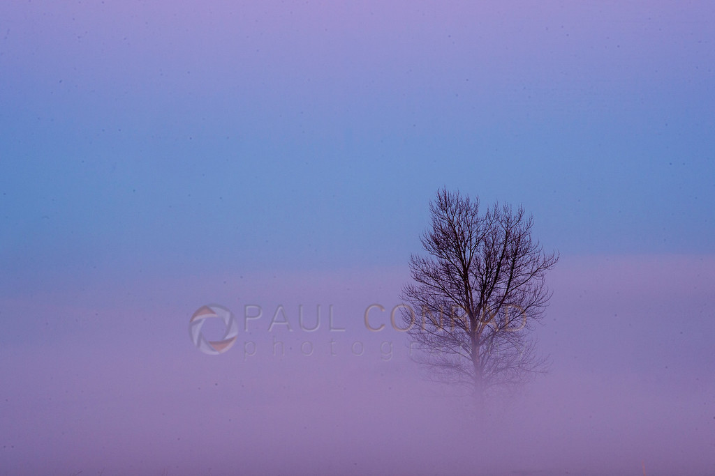 Lone Tree in Dissipating Fog - A lone tree peeks from the dissipating fog along Ferndale Road on Wednesday morning March 18, 2020, in Whatcom County, Wash. (photo © Paul Conrad/Paul Conrad Photography)