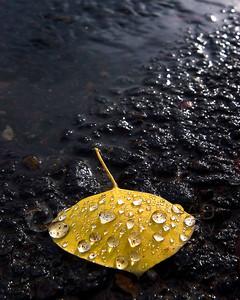 Fallen Aspen Leaf