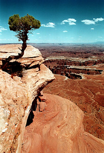 © Paul Conrad/Pablo Conrad Photography  A juniper tree, Juniperous osteosperma, hangs on the precipice of a cliff overlooking the White Rim in Island in the Sky at Canyonlands National Park outside Moab, Utah.