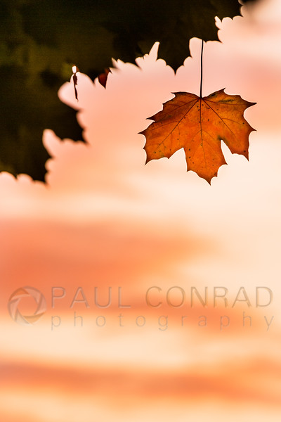 © Paul Conrad/Pablo Conrad Photography - A lone red leaf hangs against the deepening red sky in Bellingham, Wash.