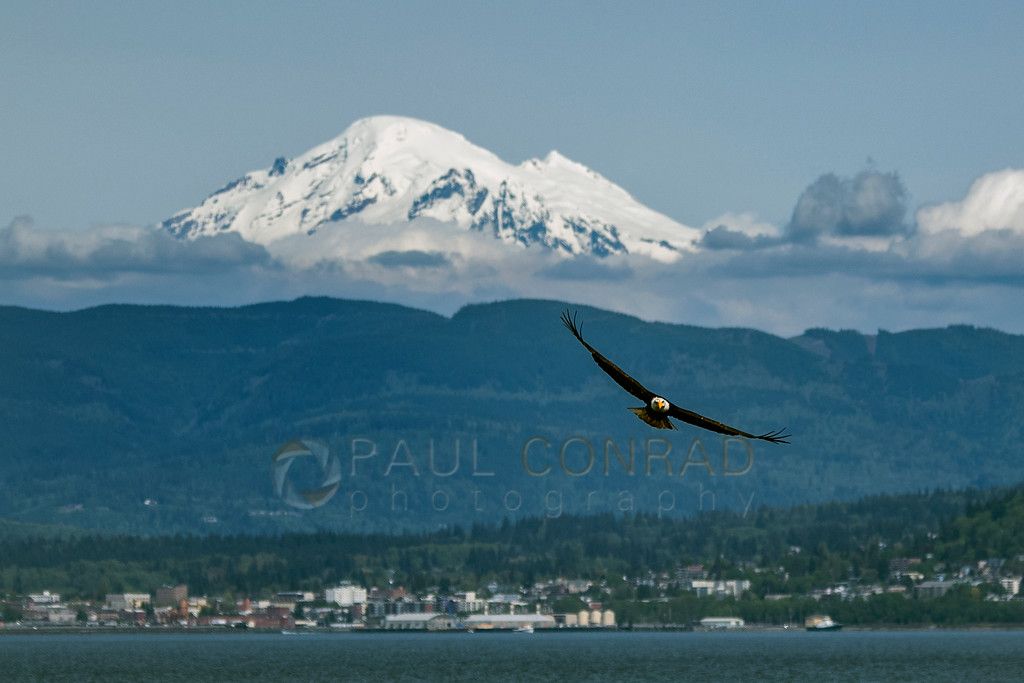 Eagle Soars Over Bellingham Bay - An American Bald Eagle (Haliaeetus leucocephalus) soars over Bellingham Bay off Lummi Shore Drive with Bellingham and Mount Baker as a backdrop on Saturday afternoon May 4, 2019, in Whatcom County, Wash. (Photo © 2019 Paul Conrad/Paul Conrad Photography)