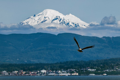 Eagle Soaring Over Bellingham Bay 2
