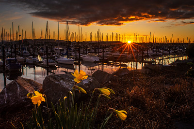 Daffodils at Squalicum Harbor During Sunset - 0150