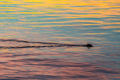 Seal in the Sunset