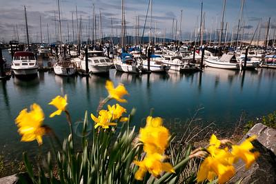 Squalicum Harbor Daffodils in Bellingham, Wash.,