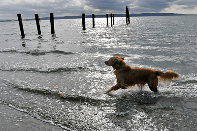 © Paul Conrad/ Pablo Conrad Photography - A labrador retriever runs through the surf on Mission Beach near Tulalip, Wash.