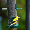 American Goldfinch, Aylmer, Quebec<br /> Chardonneret jaune, Aylmer, Québec