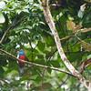 Slaty-tailed Trogon, Pipeline Road, Panama<br /> Trogon de Masséna,  Chemin Pipeline, Panama