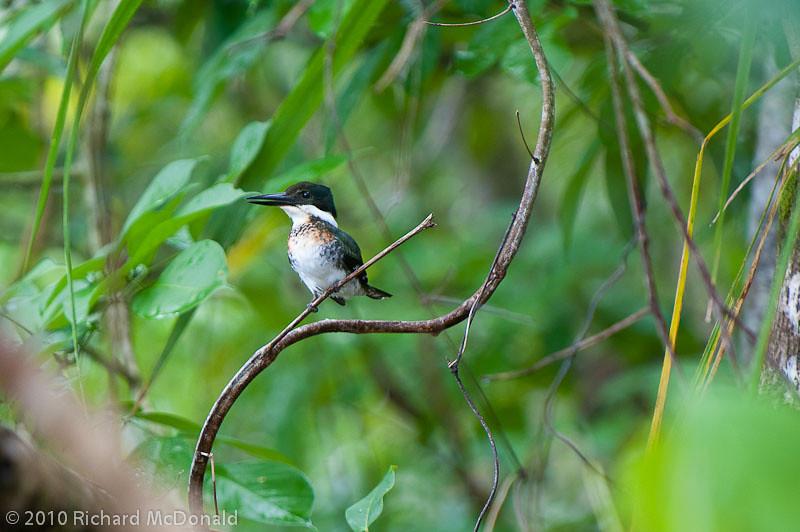 Green Kingfisher, Isla Coiba, Panama<br /> Martin-pêcheur vert, Isla Coiba, Panama