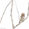Ferruginous Pygmy Owl, Playa Maya, Mexico<br /> Chevêchette brune, Playa Maya, Mexico