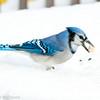 Blue Jay, Aylmer, Quebec<br /> Geai bleu, Aylmer, Québec