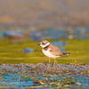 Semipalmated Plover, Aylmer, Quebec<br /> Pluvier semipalmé, Aylmer, Québec