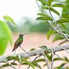 Rufous-Tailed Hummingbird, Santa Catalina, Panama<br /> Ariane à ventre gris, Santa Catalina, Panama