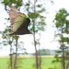 Turkey Vulture, St-Norbert, Manitoba<br /> Urubu à tête rouge, St-Norbert, Manitoba