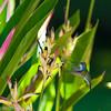 Sapphire-Throated Hummingbird, Playa Coronado, Panama<br /> Colibri faux-saphir, Playa Coronado, Panama