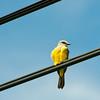 Tropical Kingbird, Playa Coronado, Panama<br /> Tyran mélancolique, Playa Coronado, Panama