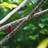 Crimson-Backed Tanager, Isla Coiba, Panama<br /> Tangara à dos rouge, Isla Coiba, Panama