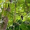 Chestnut-Mandibled Toucan (aka Swainson's Toucan), Pipeline Road, Panama<br /> Toucan de Swainson, Chemin Pipeline, Panama