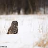 Great Grey Owl, Luskville, Quebec<br /> Chouette Lapone, Luskville, Québec