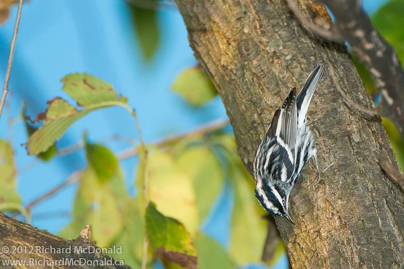 Black-and-white Warbler, Aylmer, Quebec<br /> Paruline noir et blanc, Aylmer, Québec