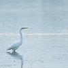 Great Egret, Ottawa River, Gatineau, Quebec, Canada<br /> Grande aigrette, Gatineau, Quebec, Canada